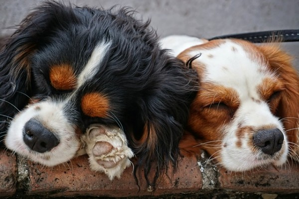 dogs-3178739_640